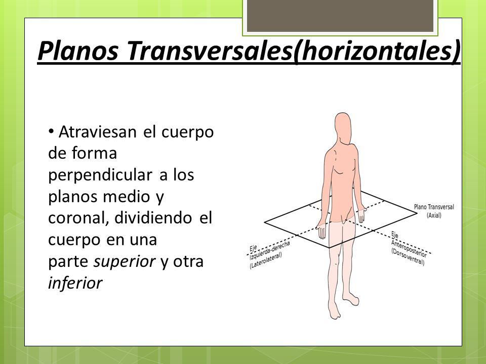 Único Plano Frontal Definición Anatomía Motivo - Anatomía de Las ...