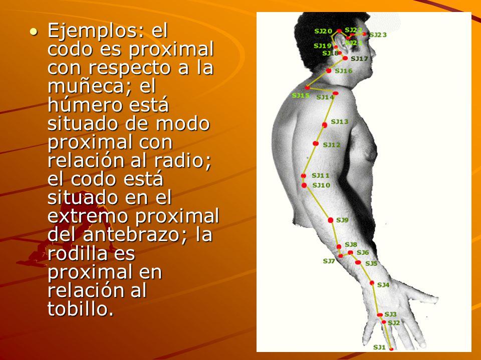 Ejemplos: el codo es proximal con respecto a la muñeca; el húmero está situado de modo proximal con relación al radio; el codo está situado en el extremo proximal del antebrazo; la rodilla es proximal en relación al tobillo.