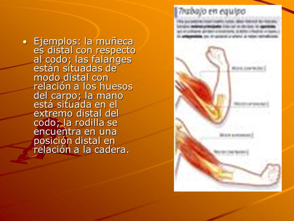 Ejemplos: la muñeca es distal con respecto al codo; las falanges están situadas de modo distal con relación a los huesos del carpo; la mano está situada en el extremo distal del codo; la rodilla se encuentra en una posición distal en relación a la cadera.