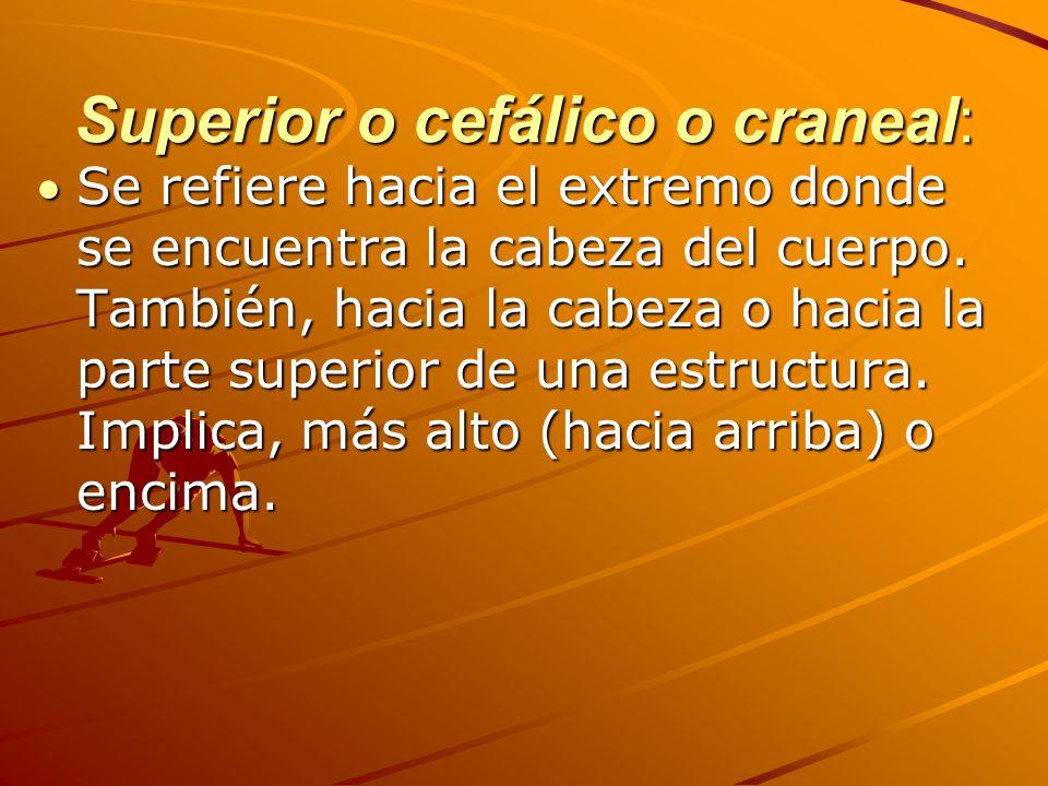 Superior o cefálico o craneal: Se refiere hacia el extremo donde se encuentra la cabeza del cuerpo.