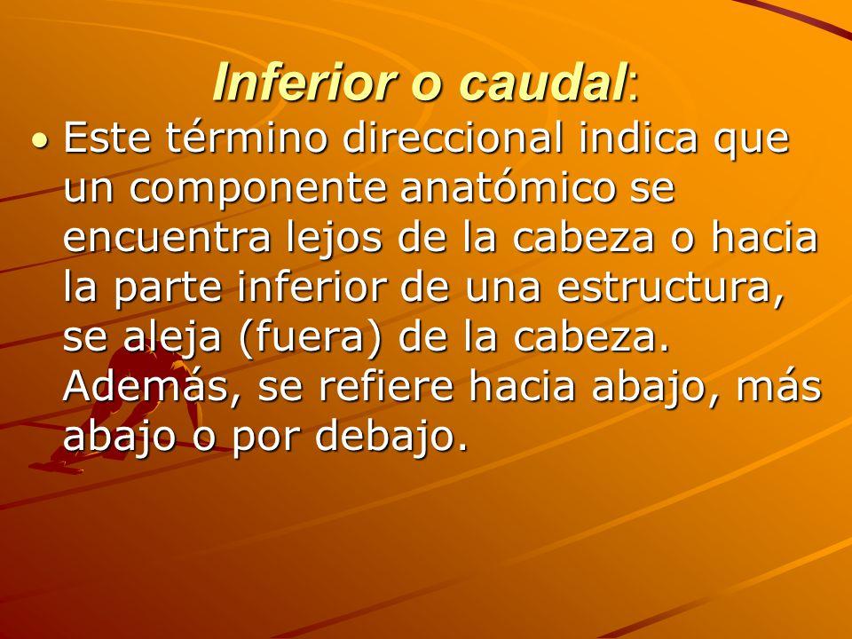 Inferior o caudal: Este término direccional indica que un componente anatómico se encuentra lejos de la cabeza o hacia la parte inferior de una estructura, se aleja (fuera) de la cabeza.