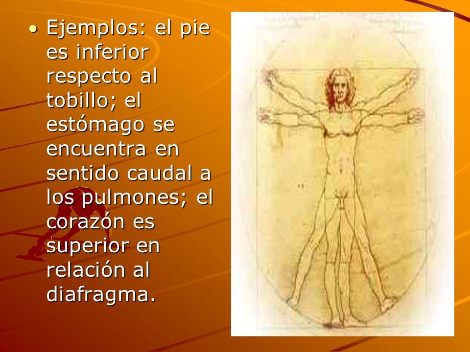 Ejemplos: el pie es inferior respecto al tobillo; el estómago se encuentra en sentido caudal a los pulmones; el corazón es superior en relación al diafragma.