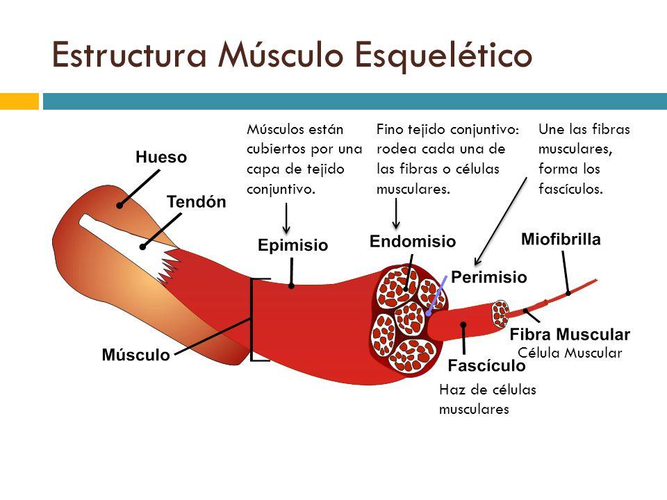 Perfecto Células Musculares Fotos - Anatomía de Las Imágenesdel ...