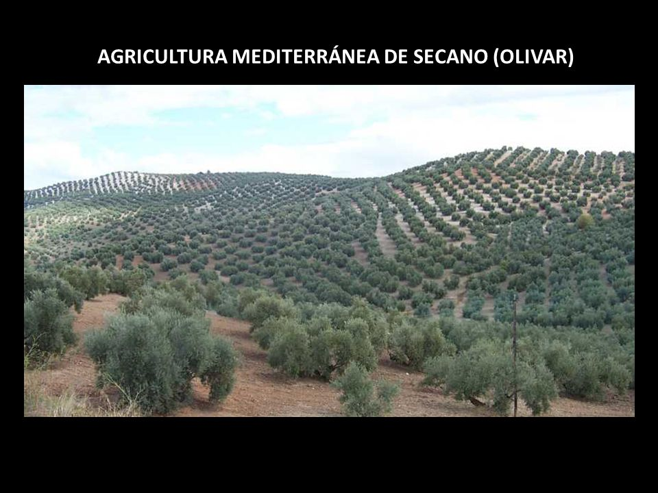 AGRICULTURA MEDITERRÁNEA DE SECANO (OLIVAR)