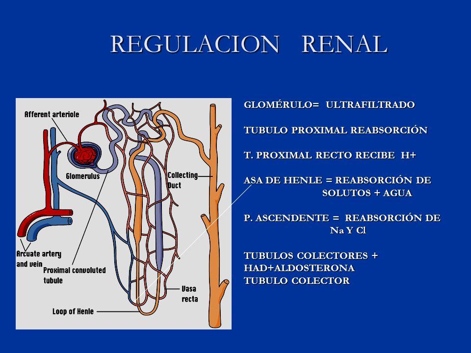REGULACION RENAL REGULACION RENAL GLOMÉRULO= ULTRAFILTRADO TUBULO PROXIMAL REABSORCIÓN T.
