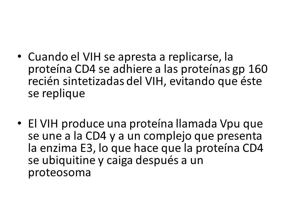 Cuando el VIH se apresta a replicarse, la proteína CD4 se adhiere a las proteínas gp 160 recién sintetizadas del VIH, evitando que éste se replique El VIH produce una proteína llamada Vpu que se une a la CD4 y a un complejo que presenta la enzima E3, lo que hace que la proteína CD4 se ubiquitine y caiga después a un proteosoma