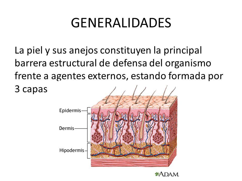 GENERALIDADES La piel y sus anejos constituyen la principal barrera estructural de defensa del organismo frente a agentes externos, estando formada po