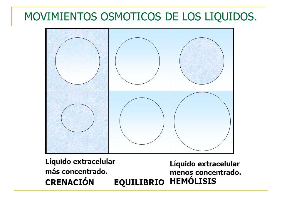 MOVIMIENTOS OSMOTICOS DE LOS LIQUIDOS. Líquido extracelular más concentrado. CRENACIÓN EQUILIBRIO Líquido extracelular menos concentrado. HEMÓLISIS