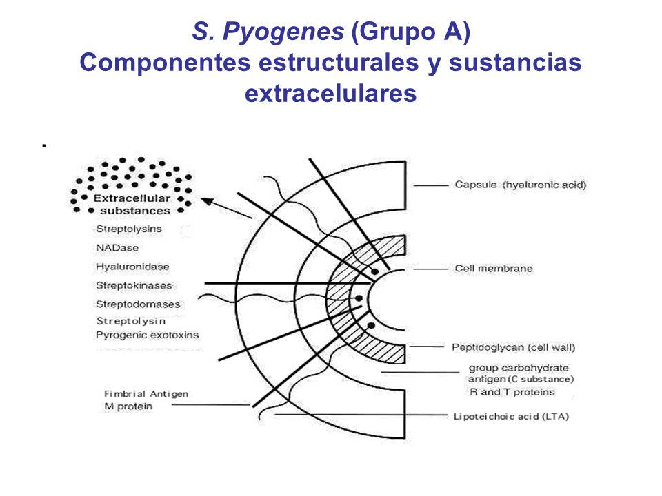 S. Pyogenes (Grupo A) Componentes estructurales y sustancias extracelulares.