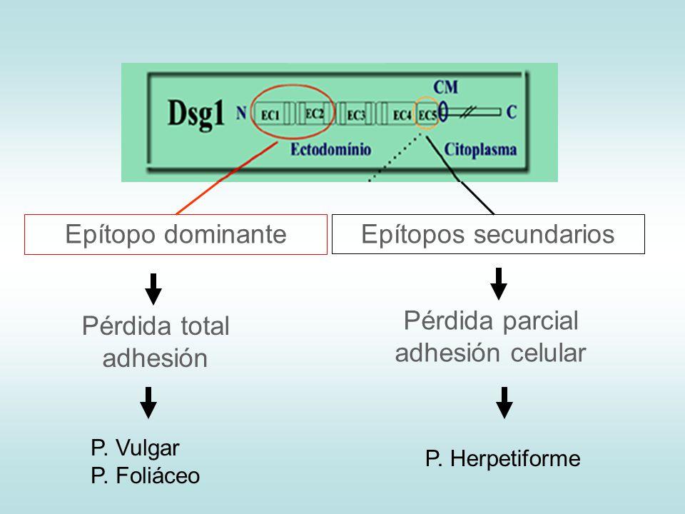 Epítopo dominanteEpítopos secundarios Pérdida total adhesión Pérdida parcial adhesión celular P. Vulgar P. Foliáceo P. Herpetiforme