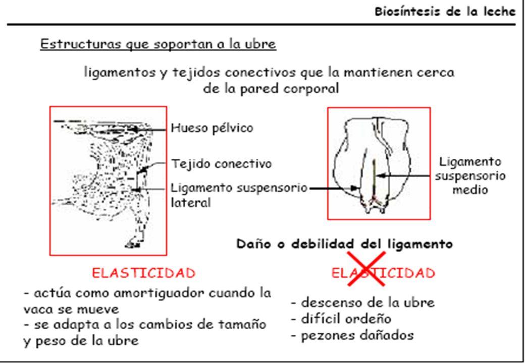 Atractivo Anatomía De La Ubre De La Vaca Galería - Anatomía de Las ...