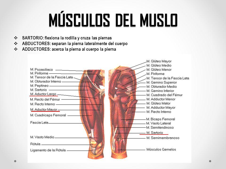 Atractivo Músculos En El área De La Rodilla Bosquejo - Anatomía de ...