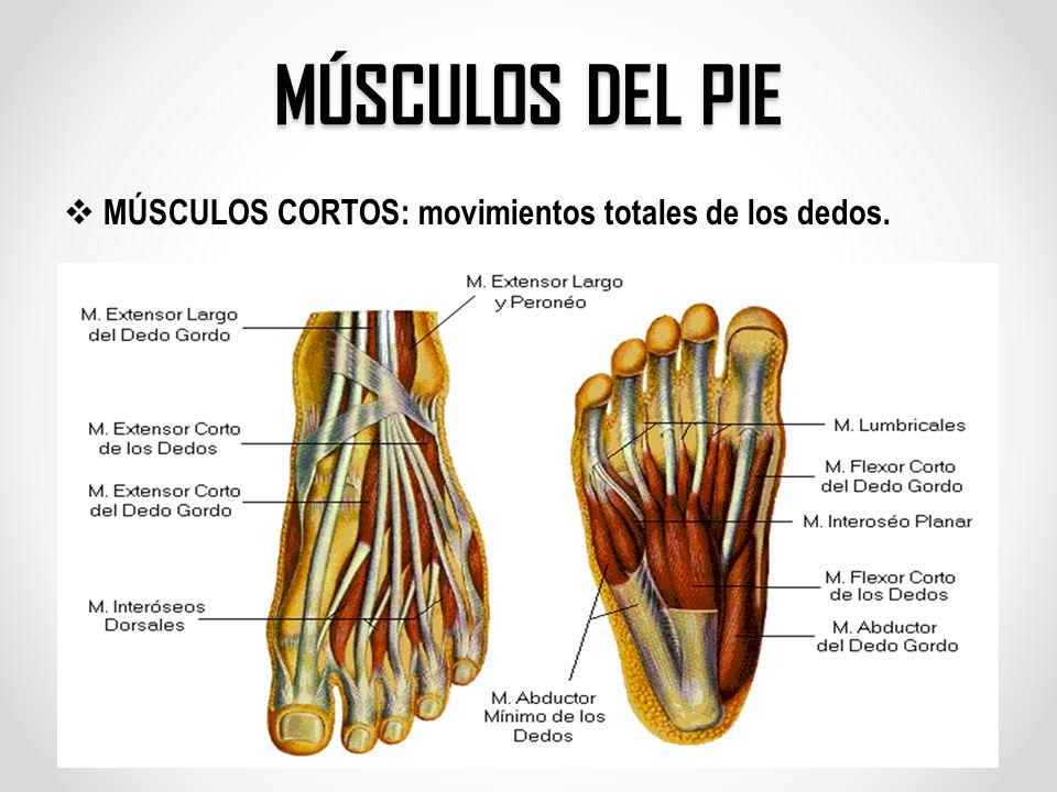 Moderno Músculos Del Pie Colección - Anatomía de Las Imágenesdel ...