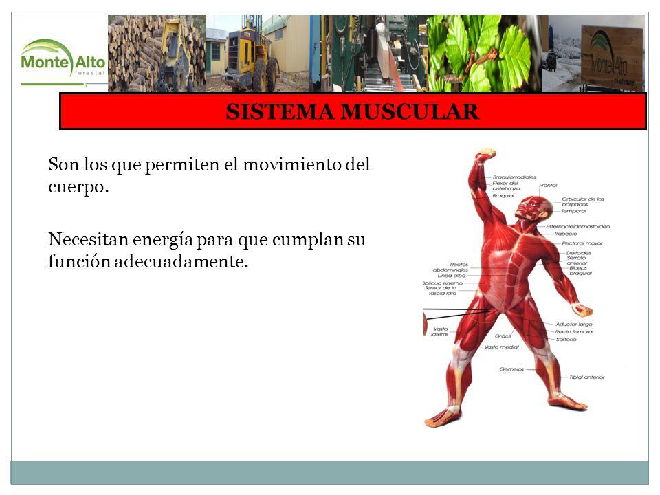 SISTEMA MUSCULAR Son los que permiten el movimiento del cuerpo.