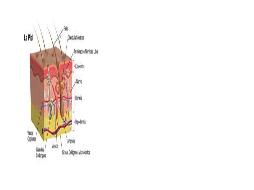 Presión Los Corpúsculos de Pacini responden muy deprisa a cambios en la presión y tienden a reunirse cerca de las articulaciones, en algunos tejidos profundos, así como en las glándulas genitales y mamarias.