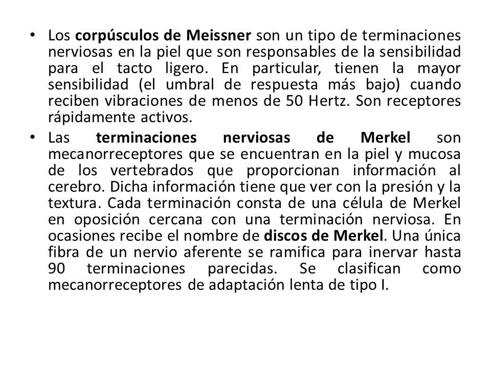 Los corpúsculos de Meissner son un tipo de terminaciones nerviosas en la piel que son responsables de la sensibilidad para el tacto ligero. En particu
