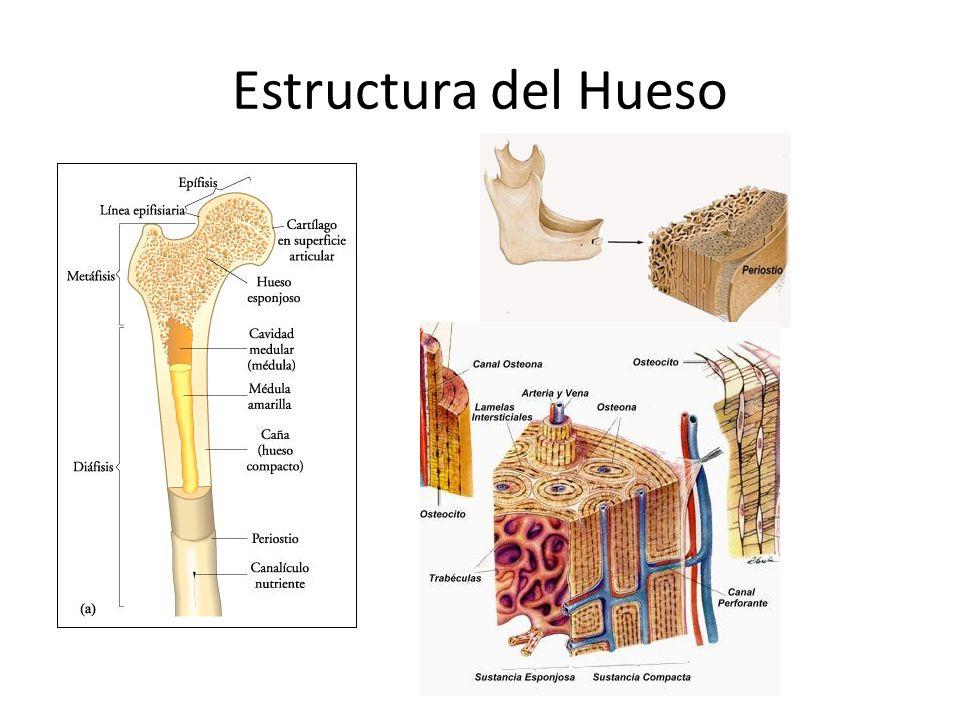 3.05 Estructura macroscópica del hueso - AulaVirtual01 Anatomia