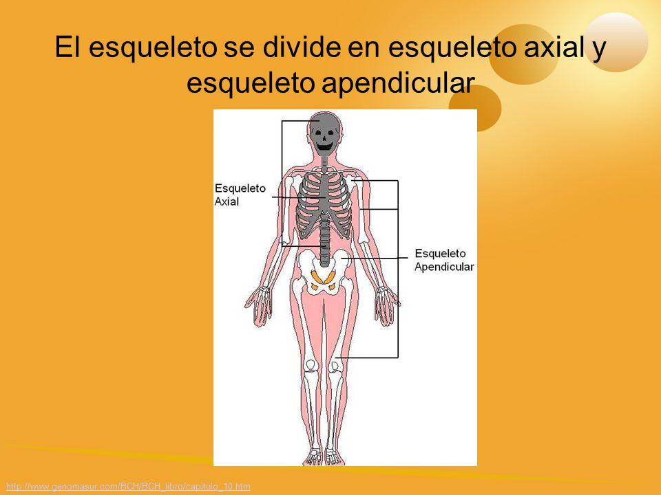 El Sistema esquelético Algunas generalidades - ppt video online ...