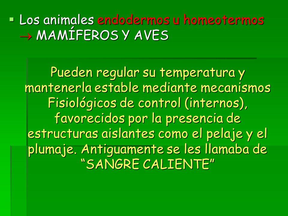  Los animales endodermos u homeotermos  MAMÍFEROS Y AVES Pueden regular su temperatura y mantenerla estable mediante mecanismos Fisiológicos de control (internos), favorecidos por la presencia de estructuras aislantes como el pelaje y el plumaje.
