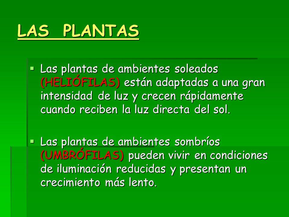 LAS PLANTAS  Las plantas de ambientes soleados (HELIÓFILAS) están adaptadas a una gran intensidad de luz y crecen rápidamente cuando reciben la luz directa del sol.