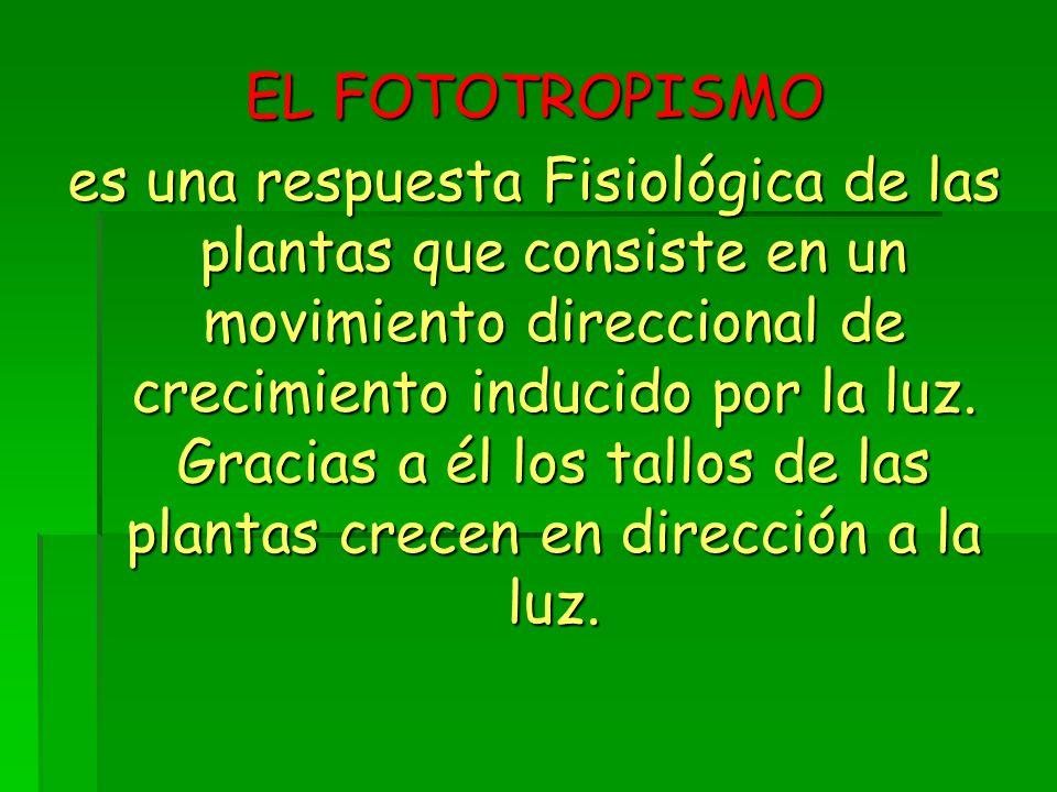 EL FOTOTROPISMO es una respuesta Fisiológica de las plantas que consiste en un movimiento direccional de crecimiento inducido por la luz.