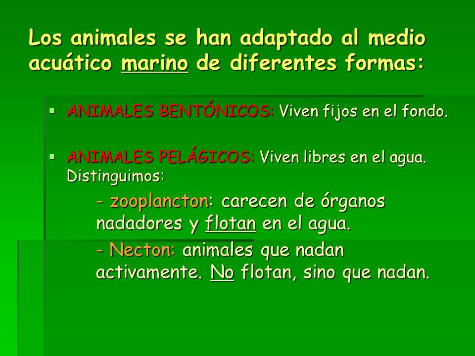 Los animales se han adaptado al medio acuático marino de diferentes formas:  ANIMALES BENTÓNICOS: Viven fijos en el fondo.