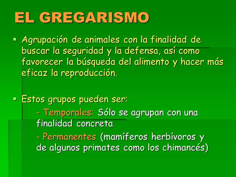 EL GREGARISMO  Agrupación de animales con la finalidad de buscar la seguridad y la defensa, así como favorecer la búsqueda del alimento y hacer más eficaz la reproducción.