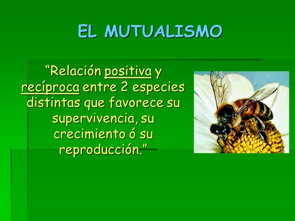 EL MUTUALISMO Relación positiva y recíproca entre 2 especies distintas que favorece su supervivencia, su crecimiento ó su reproducción. Relación positiva y recíproca entre 2 especies distintas que favorece su supervivencia, su crecimiento ó su reproducción.