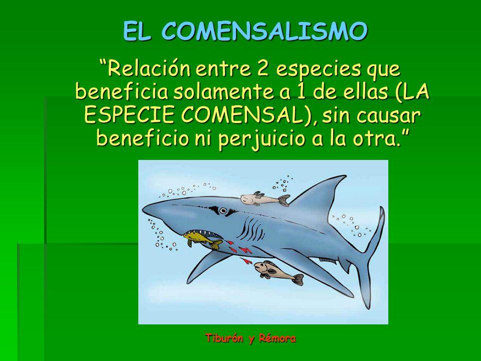EL COMENSALISMO Relación entre 2 especies que beneficia solamente a 1 de ellas (LA ESPECIE COMENSAL), sin causar beneficio ni perjuicio a la otra. Relación entre 2 especies que beneficia solamente a 1 de ellas (LA ESPECIE COMENSAL), sin causar beneficio ni perjuicio a la otra. Tiburón y Rémora Tiburón y Rémora