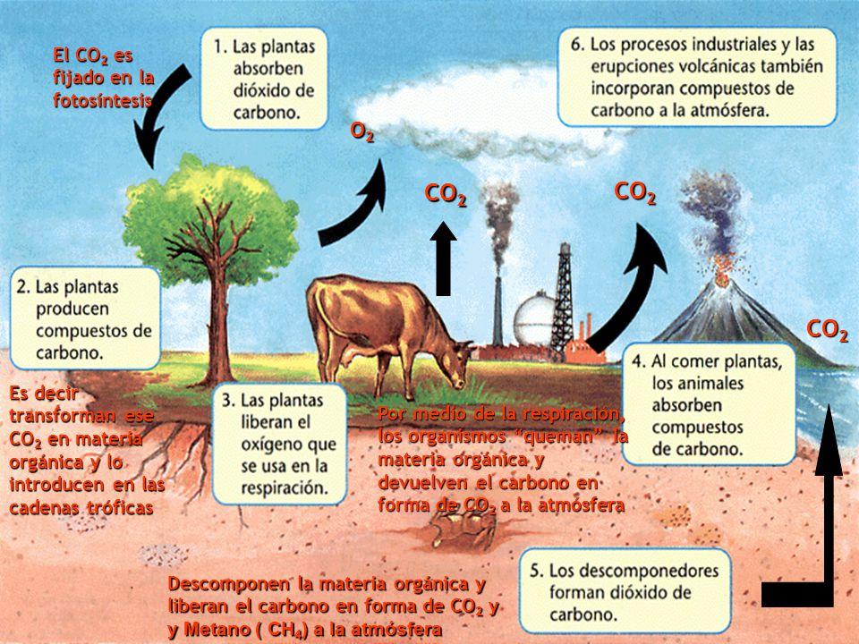 El CO 2 es fijado en la fotosíntesis Es decir transforman ese CO 2 en materia orgánica y lo introducen en las cadenas tróficas O2O2O2O2 Por medio de la respiración, los organismos queman la materia orgánica y devuelven el carbono en forma de CO 2 a la atmósfera CO 2 Descomponen la materia orgánica y liberan el carbono en forma de CO 2 y y Metano ( CH 4 ) a la atmósfera CO 2