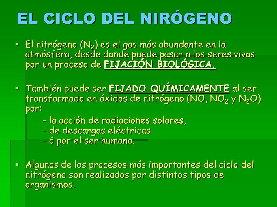 EL CICLO DEL NIRÓGENO  El nitrógeno (N 2 ) es el gas más abundante en la atmósfera, desde donde puede pasar a los seres vivos por un proceso de FIJACIÓN BIOLÓGICA.