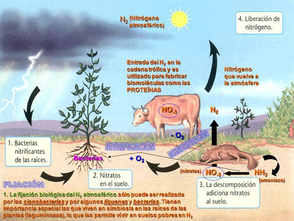 (Nitrógeno atmosférico) N2N2N2N2 1.
