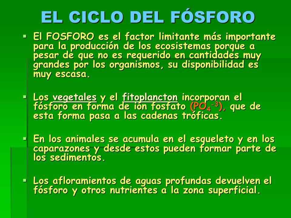 EL CICLO DEL FÓSFORO  El FOSFORO es el factor limitante más importante para la producción de los ecosistemas porque a pesar de que no es requerido en cantidades muy grandes por los organismos, su disponibilidad es muy escasa.