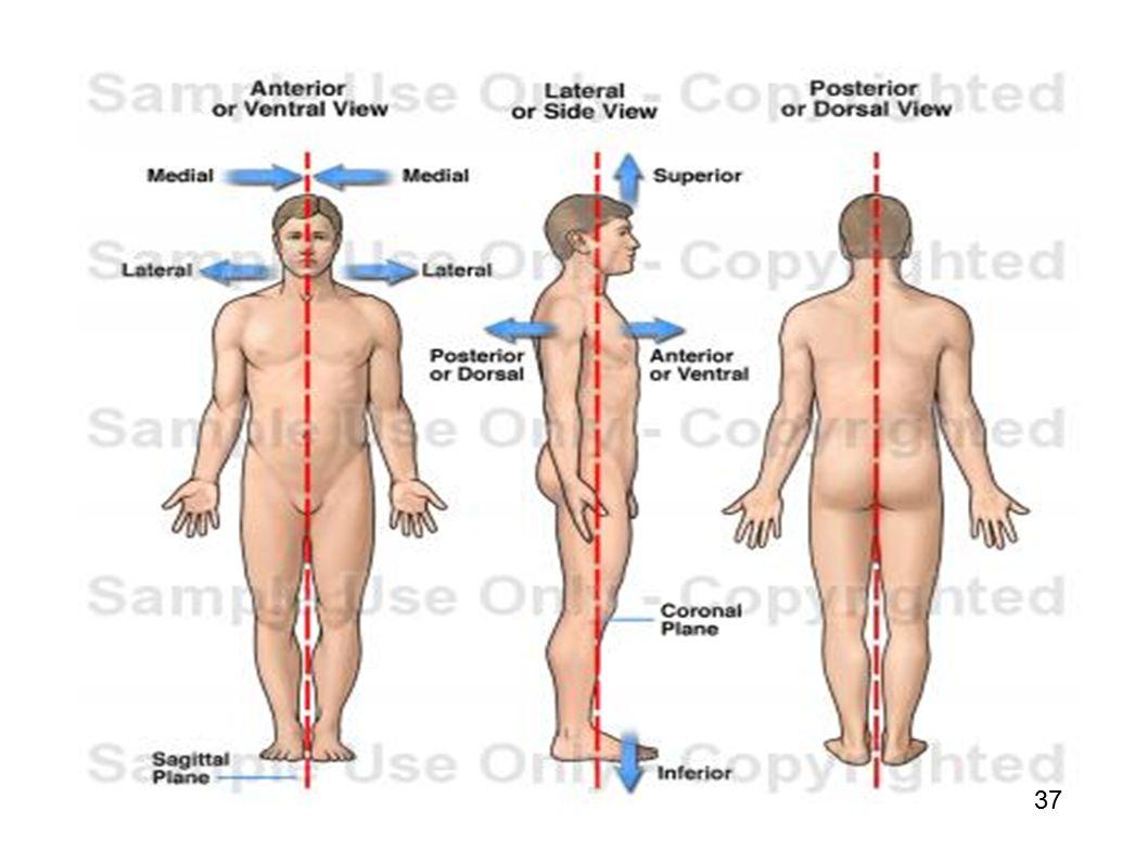 Vistoso Qué Significa Anterior De La Anatomía Ilustración - Imágenes ...