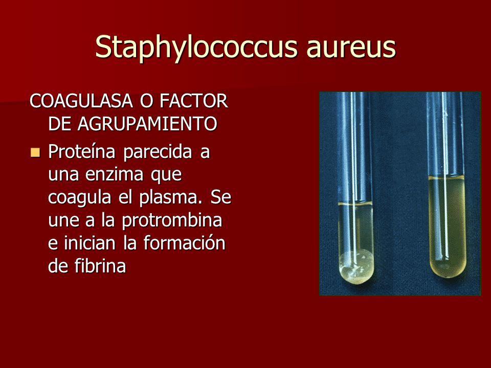 Staphylococcus aureus COAGULASA O FACTOR DE AGRUPAMIENTO Proteína parecida a una enzima que coagula el plasma.