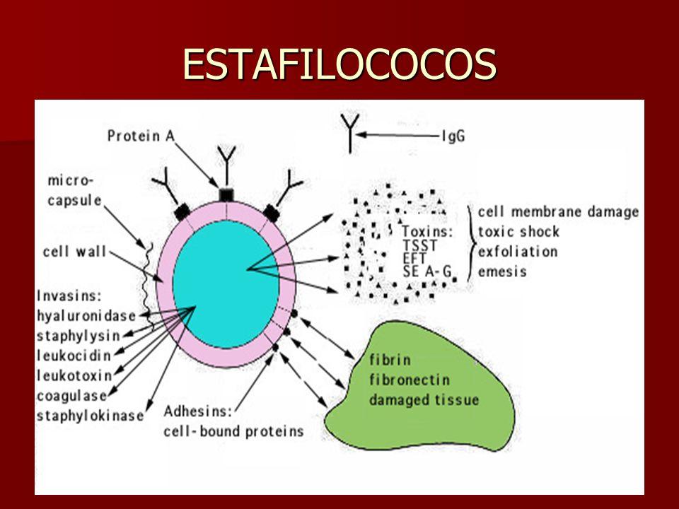 ESTAFILOCOCOS