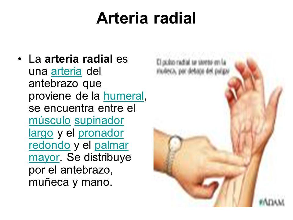 Lujoso Ubicación De La Arteria Radial Imágenes - Anatomía de Las ...