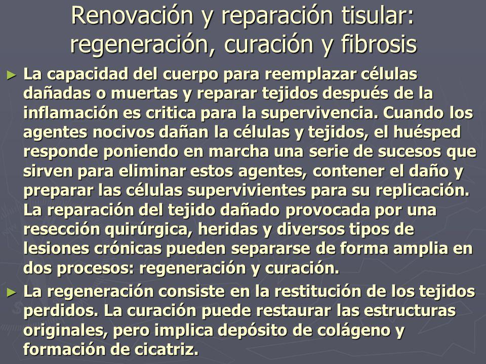 Renovación y reparación tisular: regeneración, curación y fibrosis ► La capacidad del cuerpo para reemplazar células dañadas o muertas y reparar tejid