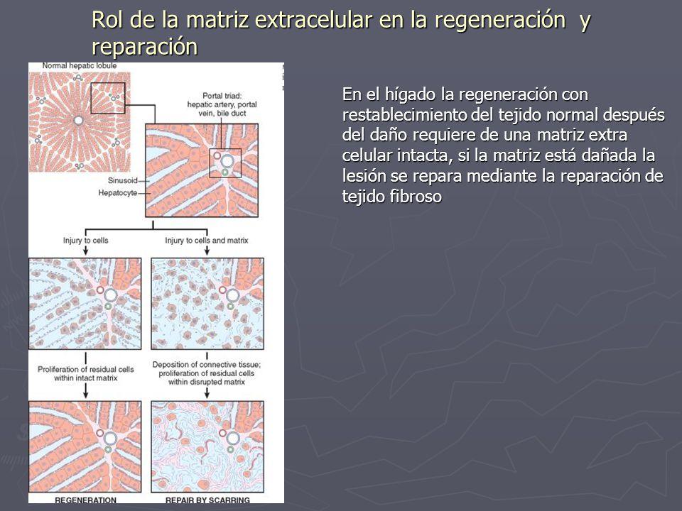 Rol de la matriz extracelular en la regeneración y reparación En el hígado la regeneración con restablecimiento del tejido normal después del daño req
