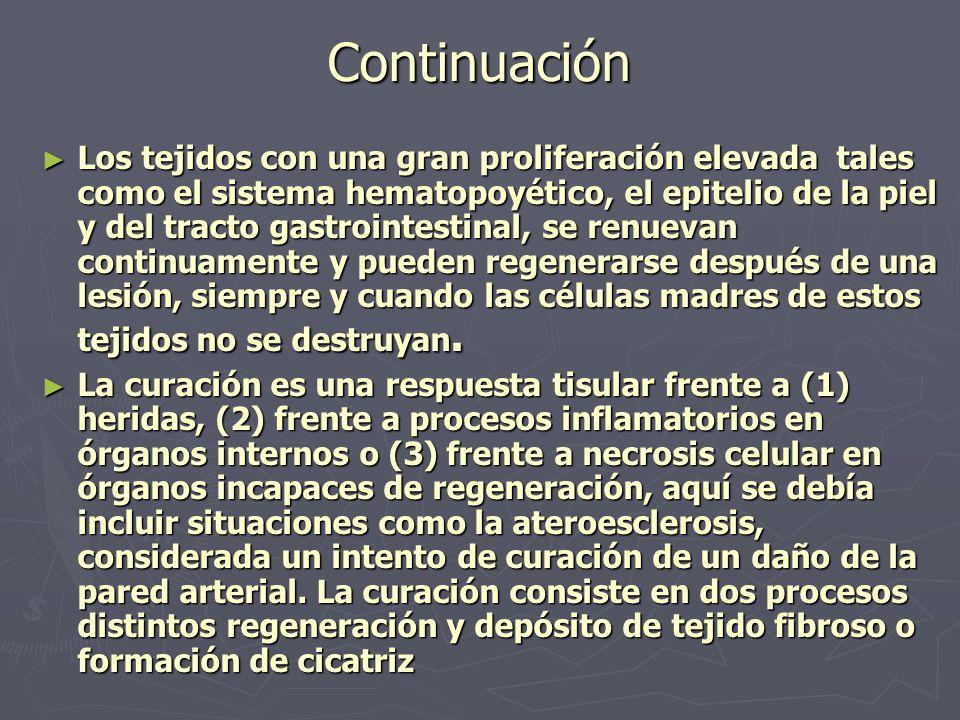 Continuación ► Los tejidos con una gran proliferación elevada tales como el sistema hematopoyético, el epitelio de la piel y del tracto gastrointestin