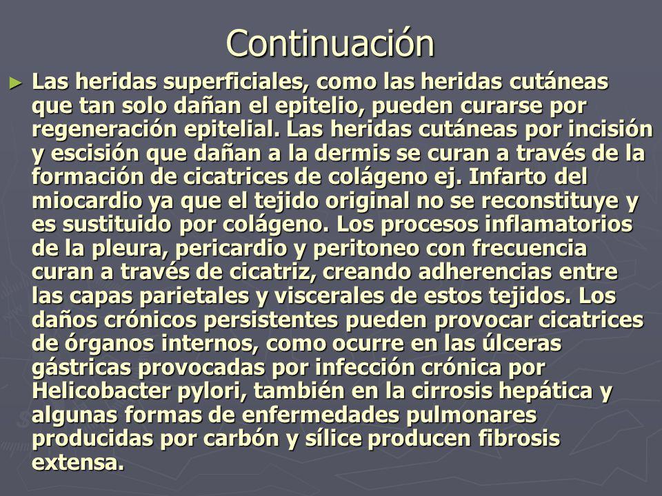 Continuación ► Las heridas superficiales, como las heridas cutáneas que tan solo dañan el epitelio, pueden curarse por regeneración epitelial. Las her