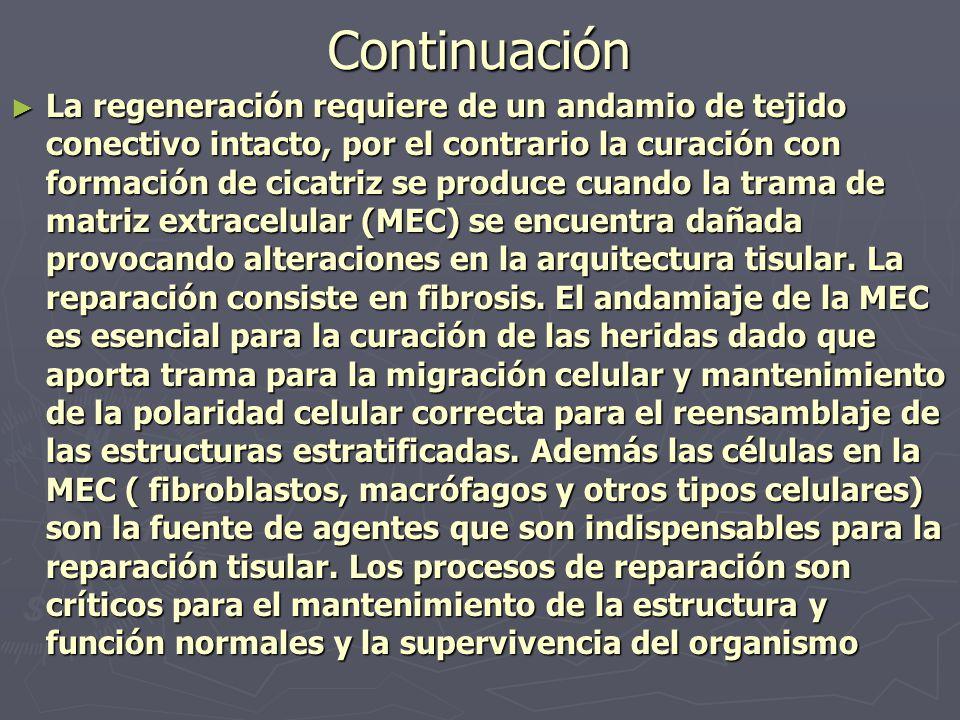 Continuación ► La regeneración requiere de un andamio de tejido conectivo intacto, por el contrario la curación con formación de cicatriz se produce c