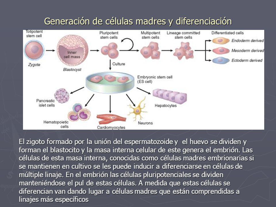 Generación de células madres y diferenciación El zigoto formado por la unión del espermatozoide y el huevo se dividen y forman el blastocito y la masa