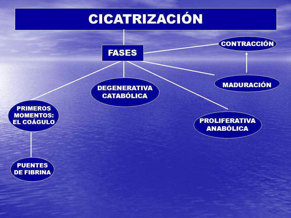 CICATRIZACIÓN PRIMEROS MOMENTOS: EL COÁGULO DEGENERATIVA CATABÓLICA PUENTES DE FIBRINA PROLIFERATIVA ANABÓLICA MADURACIÓN CONTRACCIÓN FASES