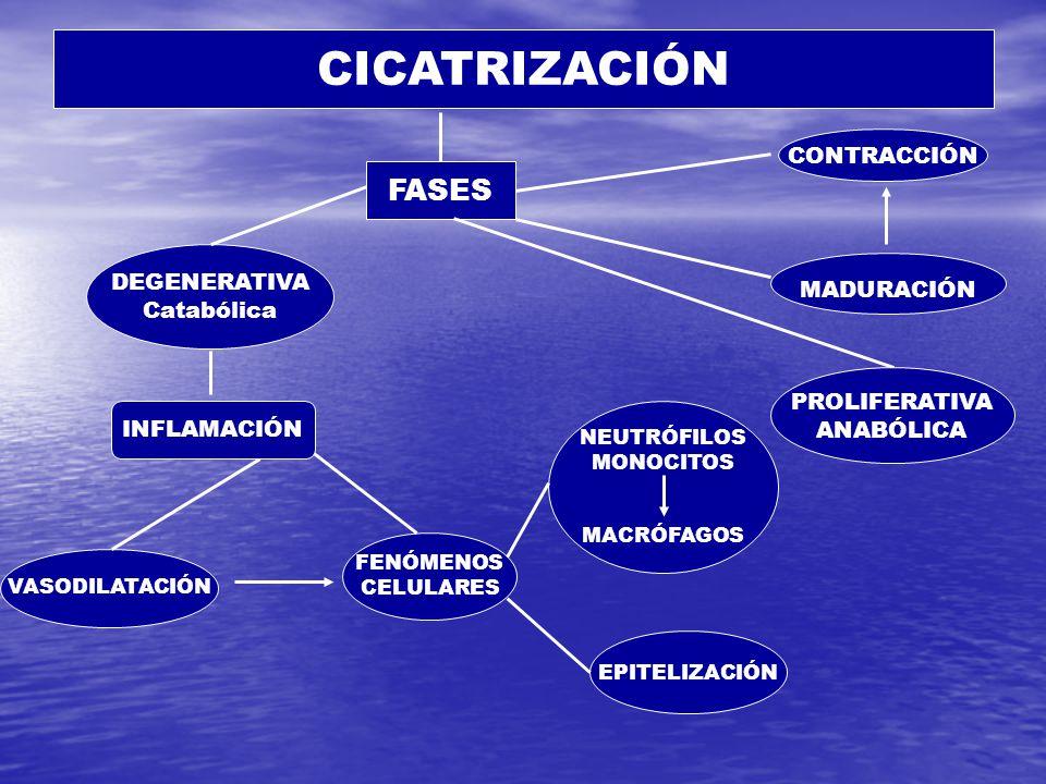 CICATRIZACIÓN DEGENERATIVA Catabólica VASODILATACIÓN FENÓMENOS CELULARES MADURACIÓN CONTRACCIÓN NEUTRÓFILOS MONOCITOS MACRÓFAGOS EPITELIZACIÓN FASES INFLAMACIÓN PROLIFERATIVA ANABÓLICA