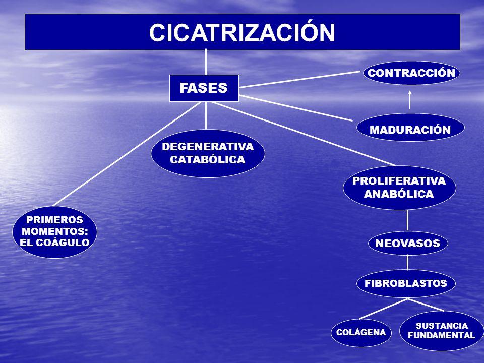 CICATRIZACIÓN PRIMEROS MOMENTOS: EL COÁGULO DEGENERATIVA CATABÓLICA PROLIFERATIVA ANABÓLICA NEOVASOS FIBROBLASTOS COLÁGENA SUSTANCIA FUNDAMENTAL MADURACIÓN CONTRACCIÓN FASES