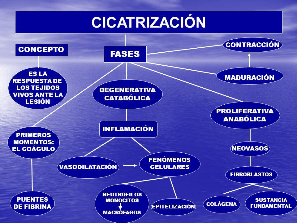 CICATRIZACIÓN ES LA RESPUESTA DE LOS TEJIDOS VIVOS ANTE LA LESIÓN PRIMEROS MOMENTOS: EL COÁGULO DEGENERATIVA CATABÓLICA PUENTES DE FIBRINA VASODILATACIÓN FENÓMENOS CELULARES PROLIFERATIVA ANABÓLICA NEOVASOS FIBROBLASTOS COLÁGENA SUSTANCIA FUNDAMENTAL MADURACIÓN CONTRACCIÓN EPITELIZACIÓN FASES INFLAMACIÓN CONCEPTO NEUTRÓFILOS MONOCITOS MACRÓFAGOS