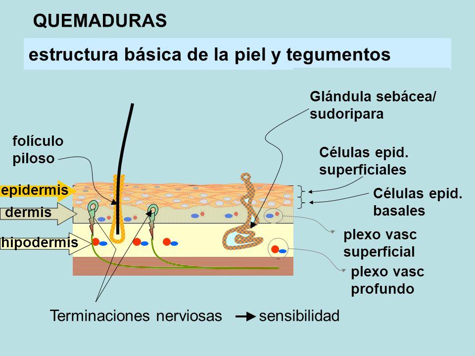 estructura básica de la piel y tegumentos folículo piloso Glándula sebácea/ sudoripara Células epid.
