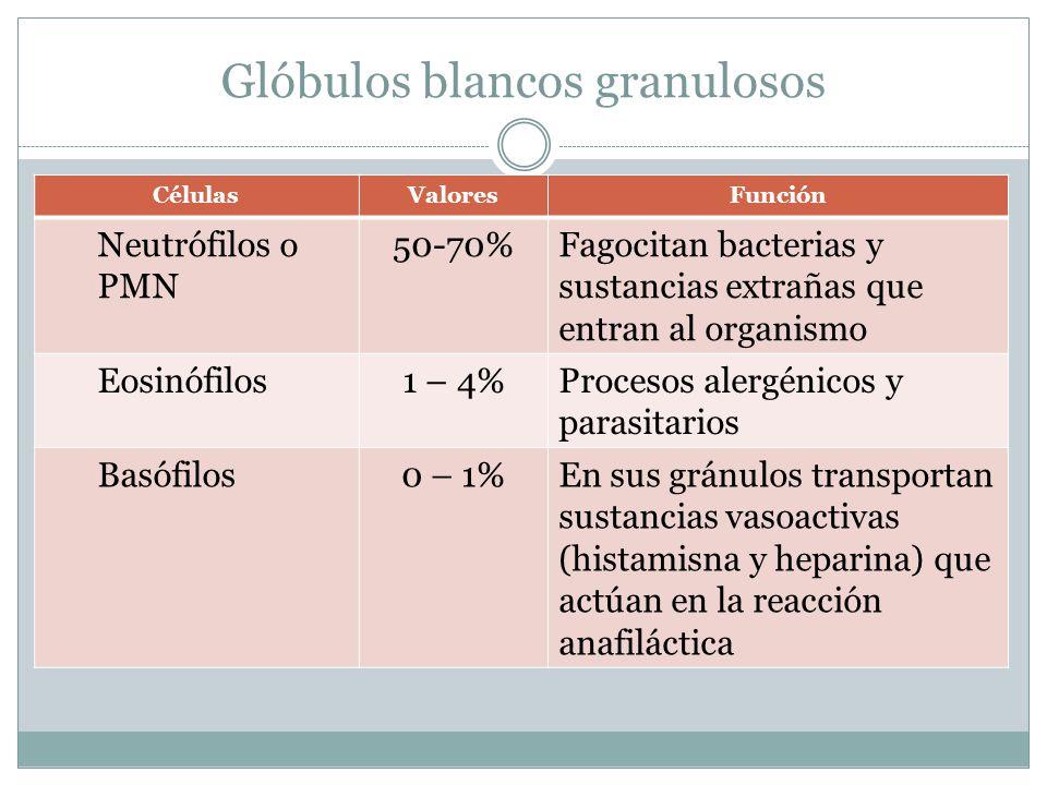 Glóbulos blancos granulosos CélulasValoresFunción Neutrófilos o PMN 50-70%Fagocitan bacterias y sustancias extrañas que entran al organismo Eosinófilos1 – 4%Procesos alergénicos y parasitarios Basófilos0 – 1%En sus gránulos transportan sustancias vasoactivas (histamisna y heparina) que actúan en la reacción anafiláctica