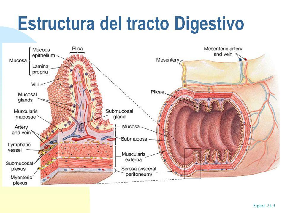 Lujoso El Tracto Digestivo Viñeta - Anatomía de Las Imágenesdel ...